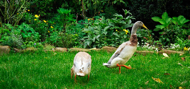 Unsere Laufenten - Our Indian Runner Ducks